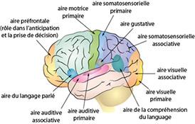 Accident vasculaire cérébrale - AVC - Encéphale